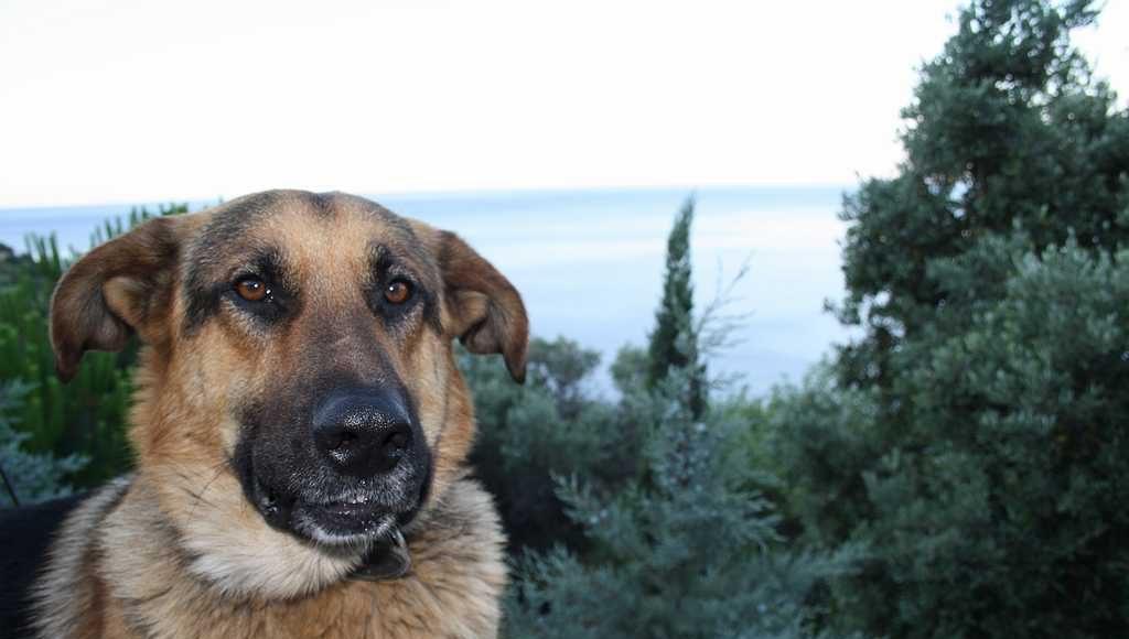 Афонский пес